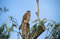 Common Kestrel (Falco tinnunculus), Young Kestrel perched on tree trunk