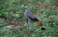 Crane Hawk (Geranospiza caerulescens) Pantanal, Brazil, South America