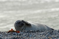 Common Seal Phoca vitulina