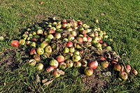 Windfall, apples