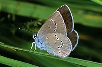 Mazarine Blue (Cyaniris semiargus), female