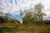 Olive trees (Olea europaea)