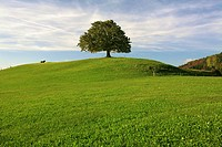 Chestnut tree on a moraine hill in Tufertschwil, Toggenburg region, St  Gall canton, Switzerland