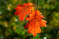 American red oak - leaves in autumn colours - colourful foliage Quercus rubra