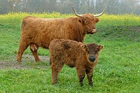Scottish Highland Cattles - Baden Wuerttemberg Germany Europe