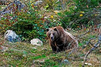 Brown bear (Ursus arctos) in autumnally coloured forest, outdoor enclosure Bavarian Forest, Germany
