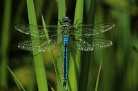 Emperor Dragonfly, Anax imperator