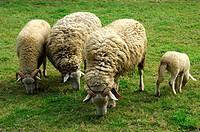 Endangered Swiss sheep race, Oberland Grison, Tavetsch Sheep