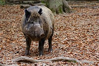 Wild boar, male (Sus scrofa) on pheasant grounds, Wiesbaden, Hesse, Germany, Europe