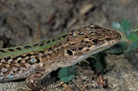 Italian Wall Lizard, portrait of a male