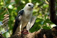 Hawk_pigeon, Palmas, Tocantins, Brazil