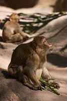 Baboons (Papio hamadryas), Nuremberg Zoo, Nuremberg, Bavaria, Germany, Europe