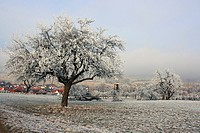 Wintry landscape with fruit trees covered in hoar frost, at the edge of Neu-Anspach village, Taunus, Hesse, Germany, Europe