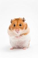 Golden hamster (Mesocricetus auratus)