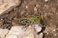 Stripe-winged Grasshopper (Stenobothrus lineatus), female