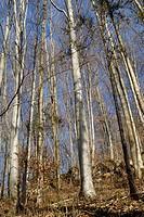 European- or Common Beech trees (Fagus sylvatica) in autumn