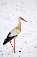 White stork, Snow, Winter, Ciconia ciconia, Germany