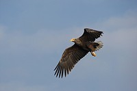 White-tailed Eagle or Sea Eagle (Haliaeetus albicilla) flying