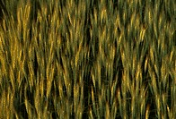 Agriculture _ Green awnleted bearded wheat
