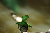 Basiliscus in Costa Rica, Central America