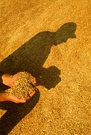 Agriculture _ Farmers hands holding harvested oats w/ stockpiled oats & farmer's shadow behind / Canada, MB, Elm Creek