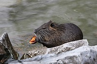 Nutria or Coypu (Myocastor coypus) feeding on a chestnut
