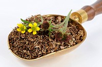 Herb bennet fresh, dried and flowers in scoop
