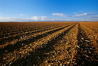 Agriculture _ Field of cotton stubble in recently harvested field, this field will not be tilled, burndown herbicide will be used and field will be pl...
