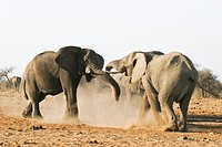 African Bush Elephant or Savanna Elephant Loxodonta africana bulls fighting, Etosha National Park, Namibia, Africa