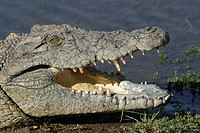 Nile Crocodile (Crocodylus niloticus), Namibia, Africa