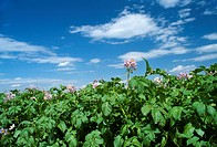 Agriculture _ Mid growth potato plants in full bloom / Canada _ AB