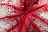 Red-and-white leaf covered in water droplets