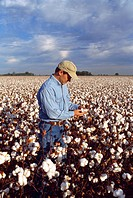 Agriculture _ A farmer inspects a mature, harvest stage, four_lock cotton boll in his field of high yield cotton / MS