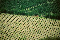 Agriculture _ Aerial view of a macadamia orchard / HI _ Hawaii, Pahala Area