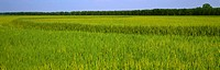 Agriculture _ Crop of mid growth rice in the early heading stage / AR _ Hickory Plains