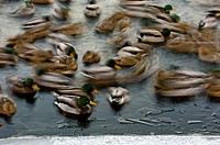 Mallard duck Anas platyrhynchos flock swimming in the open water of Junction Creek in winter, Sudbury, Ontario
