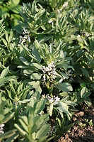 Several flowering broad bean plants