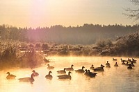 Canada geese Branta canadensis at sunrise, Still Creek, Burnaby Lake Regional Park, Burnaby, British Columbia, Canada