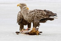 White_tailed eagle, Haliaeetus albicilla