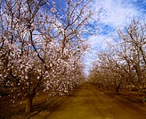 Agriculture _ Almond orchard in bloom in late winter / CA _ San Joaquin Valley, Fresno County