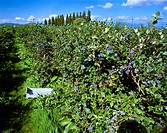 Agriculture _ Rows of blueberry bushes with ripe fruit ready for harvest / WA _ Skagit Valley