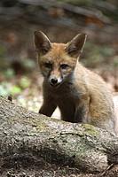 Red Fox (Vulpes vulpes), Maria Stein, Tyrol, Austria, Europe