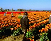 Agriculture _ Field workers at a bulb farm harvest tulips during the deadheading process / WA _ Skagit Valley