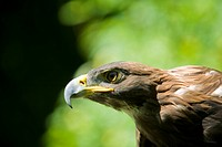 The Golden Eagle Aquila chrysaetos one of the largest birds of prey, common in Western North America is also one of the best_known raptor's in the Nor...