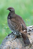 Dusky - or Blue Grouse (Dendragapus obscurus), Canada
