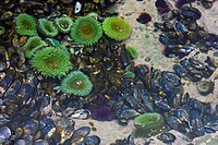 A tidal pool filled with sea anemones and mussels on the West Coast Trail on Vancouver Island, British Columbia, Canada