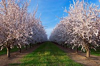 Agriculture _ Looking down between rows of almond trees in full Spring bloom / near College City, Northern California, USA