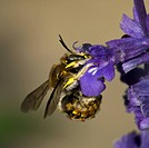 Agriculture _ A Wool Carder bee Anthidium manicatum working on a purple flower / Michigan, USA