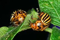 Agriculture _ Two Colorado potato beetles Leptinotarsa decemlineata feeding on a potato leaf / Michigan, USA