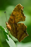Agriculture _ Eastern comma Polygonia comma butterfly in profile / Michigan, USA